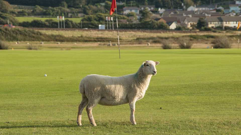 The approach to the 17th is well guarded by a burn, a road, and sometimes sheep.